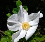 cropped-rosarugosawhitemother1.jpg